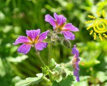 Jadalne Chwasty – zdrowo i bez GMO